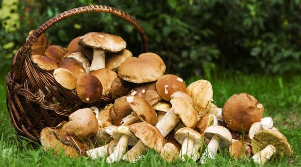 Целебные свойства грибов: лисички подавляют размножение стафилококков, а маслята лечат головную боль 47